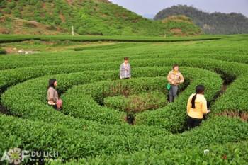 Visting tea plantations in Moc Chau