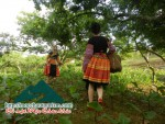 Picking plums in Moc Chau