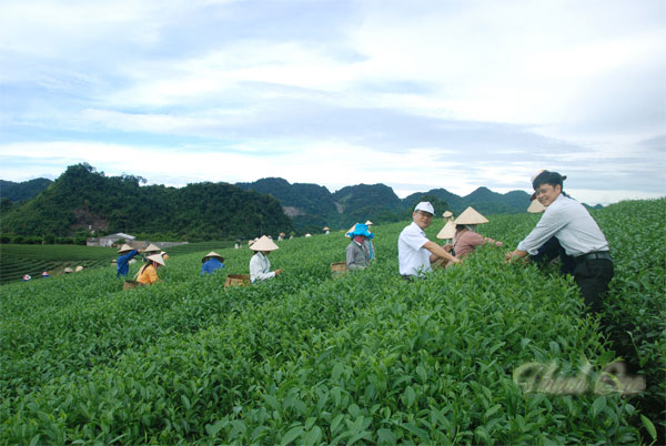 Chương trình Du lịch nông nghiệp ở công ty chè Ô long Mộc Sương