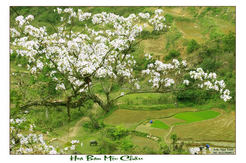 Mộc Châu, thiên đường hoa