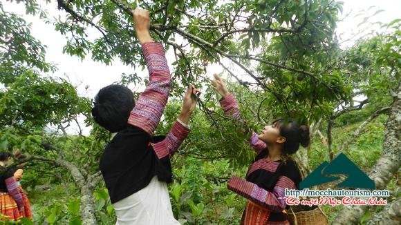 Thú vị vô cùng khi được hái mận với người dân tộc H Mông tại Lóng Luông