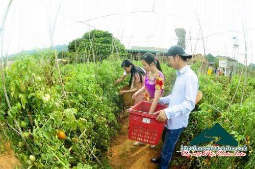 Tour du lịch nông nghiệp Mộc Châu giá rẻ: 750.000vnđ/người