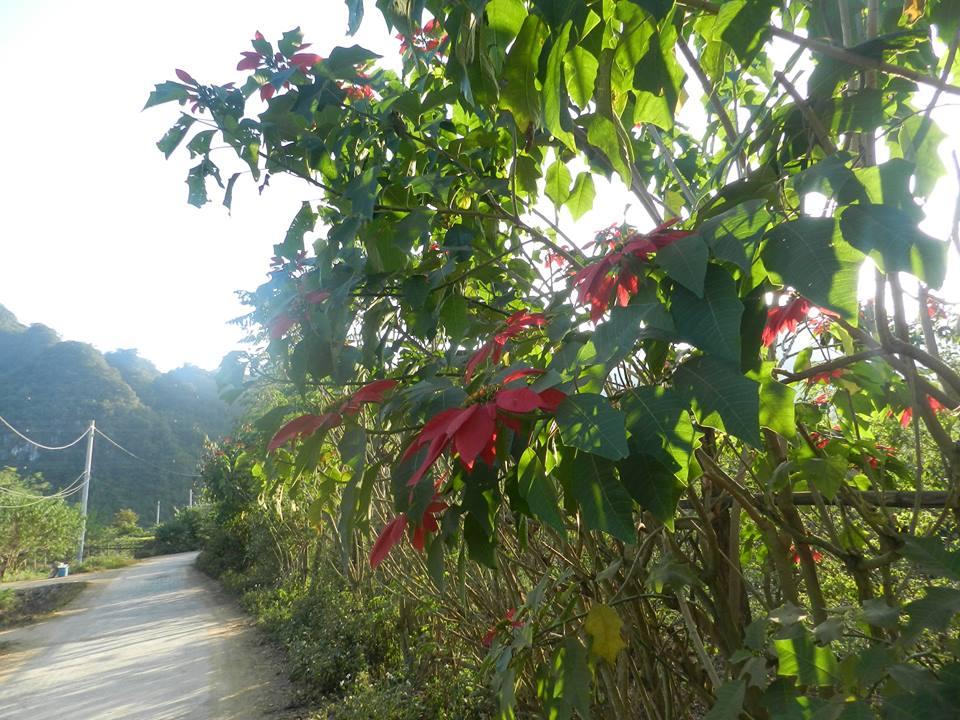 hoa trạng nguyên mộc châu