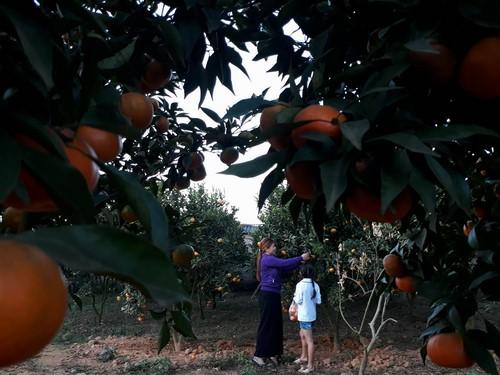 Chương trình du lịch hái cam Mộc Châu với giá chỉ 750k/người