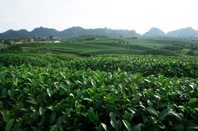 Những đồi chè Mộc Châu bừng sắc xanh chào tháng 4