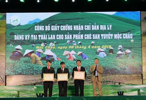 Đặc sản Sơn La: chè Mộc Châu