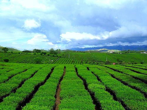 Moc Chau tea hill