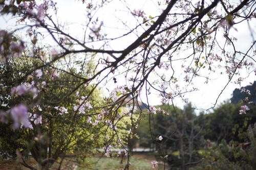 hoa ban mộc châu (5)